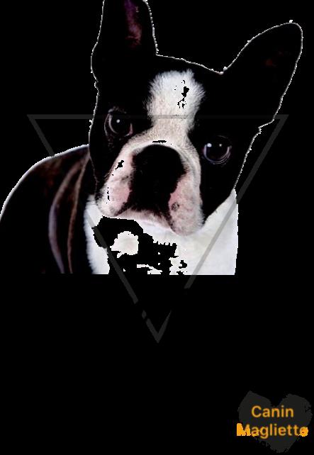 maglietta Boston terrier